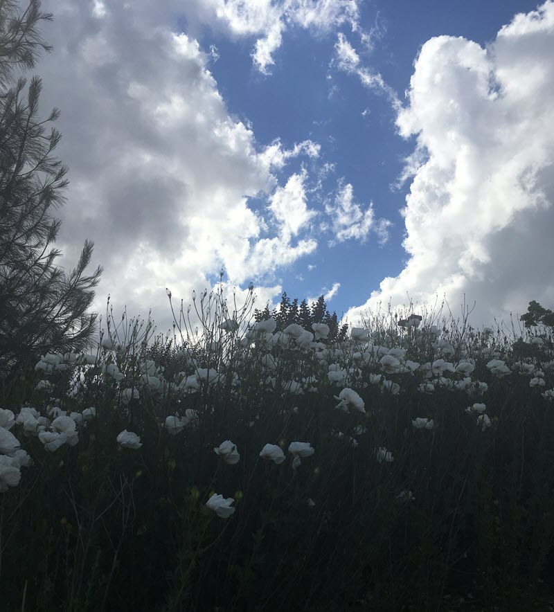 serene sky and hillside of white poppies
