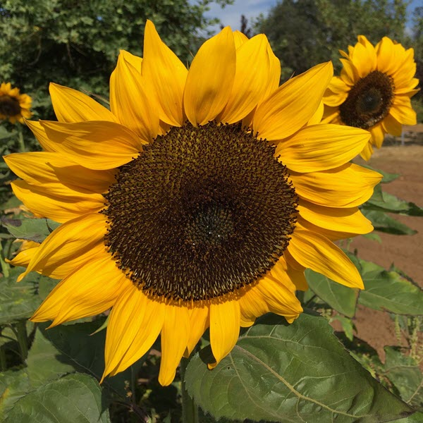 the adventure of life as a sunflower