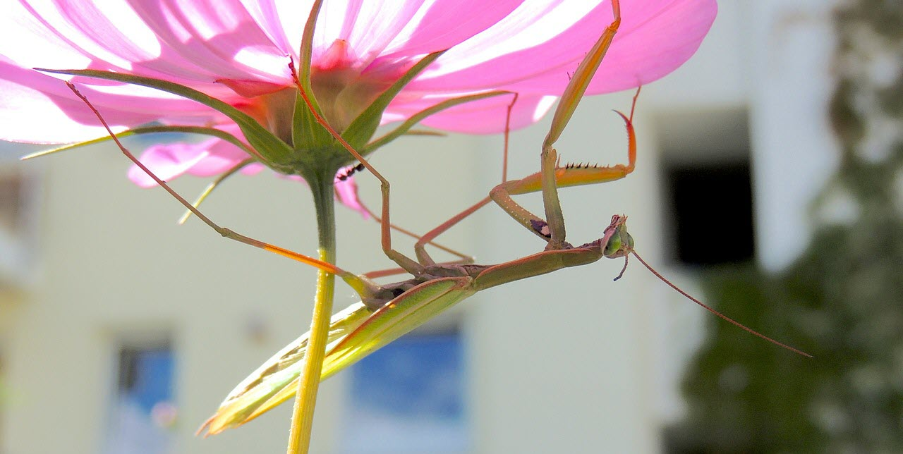 praying mantis on pink flower